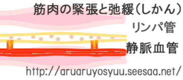 リンパ管と静脈 筋肉.jpg